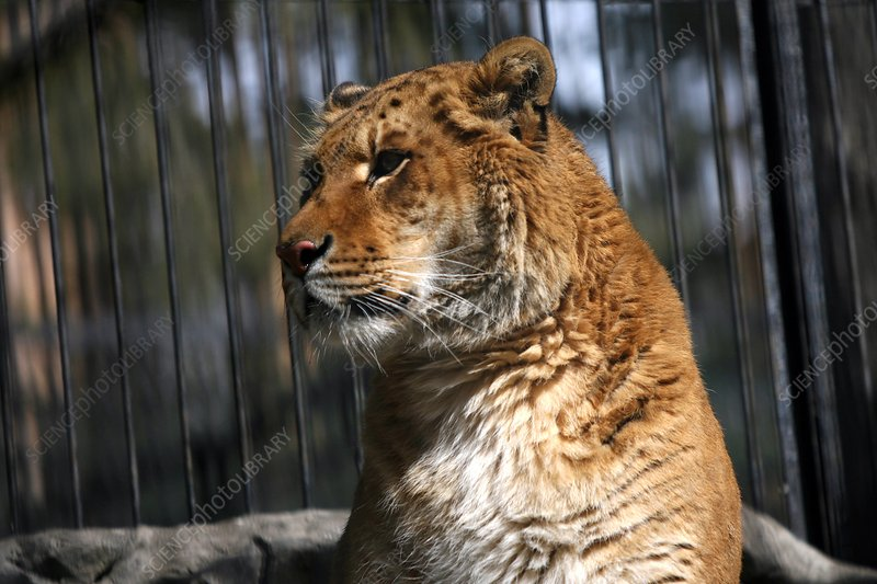 Liger in a zoo