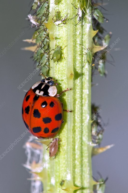 Harlequin ladybird and aphids