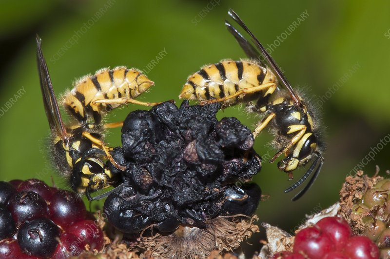 Wasps feeding on blackberries