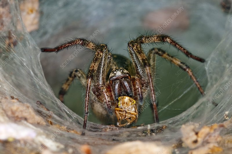 Labyrinth spider with prey