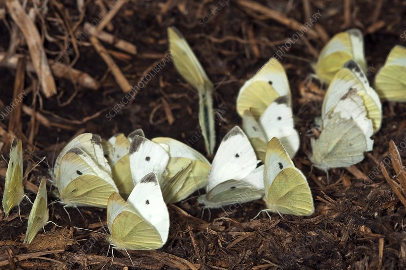 Small white butterflies on cow dung