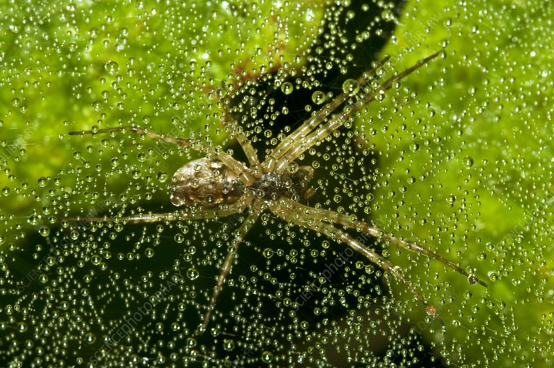 Sheetweb spider on dew-covered web