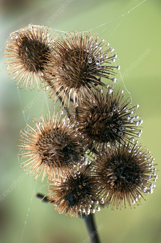Plant burrs covered in dew