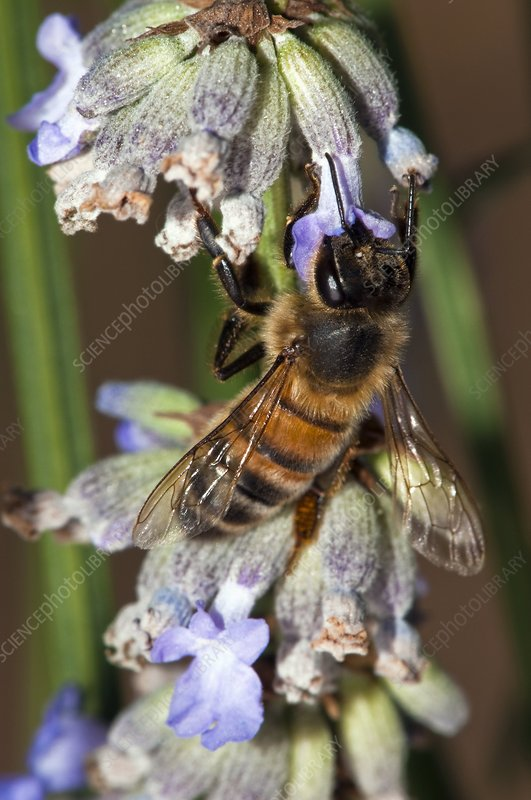 Honeybee on lavender flowers