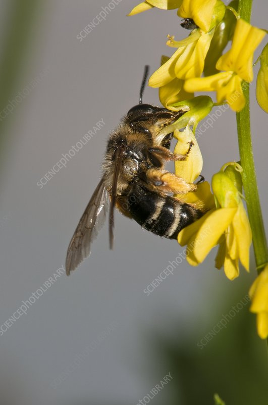 Solitary bee on melilot flowers