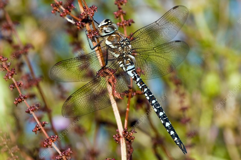 Migrant hawker dragonfly on a plant stem