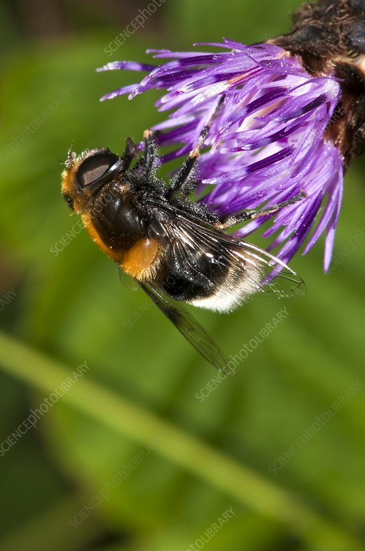 Hoverfly feeding on knapweed flower