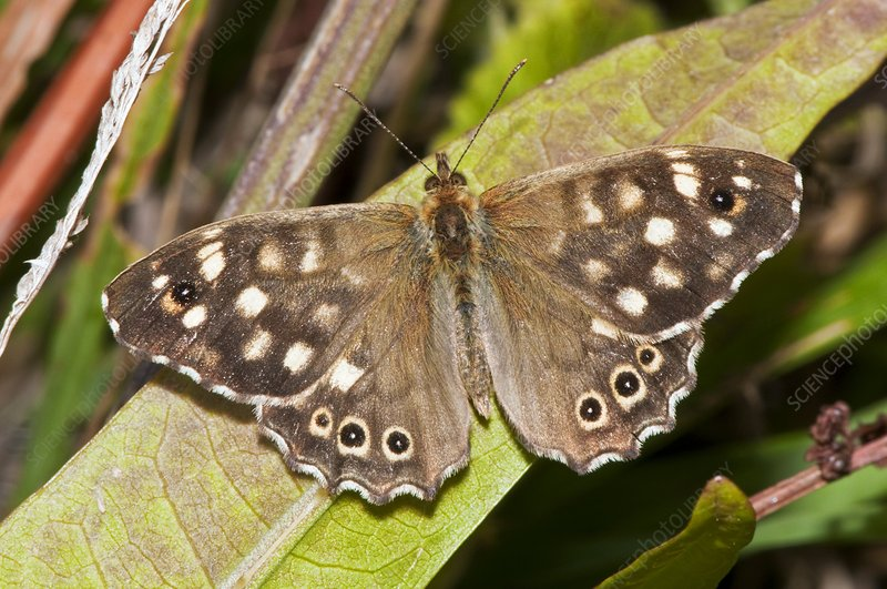 Speckled wood butterfly on a leaf
