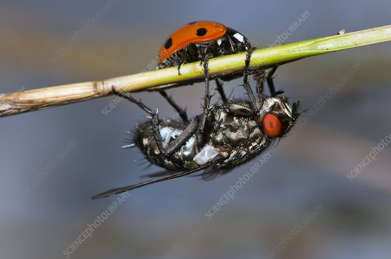 Ladybird and flesh fly