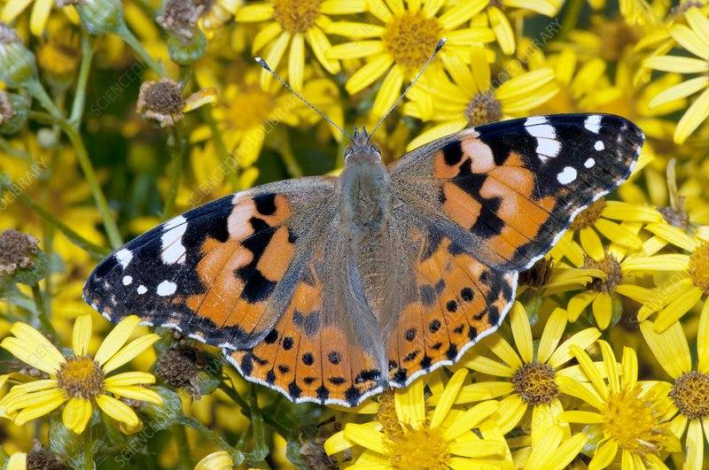 Painted lady butterfly on ragwort flowers