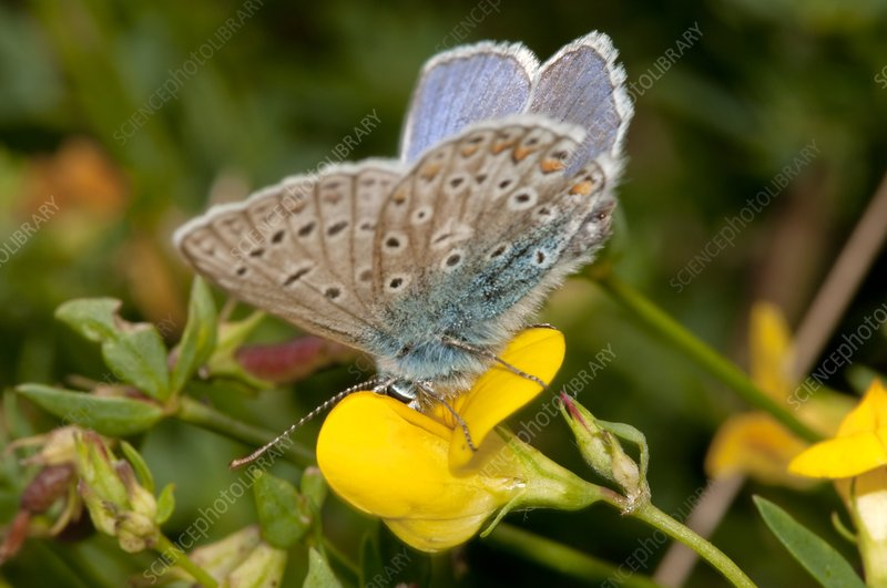 Common blue butterfly feeding on a flower