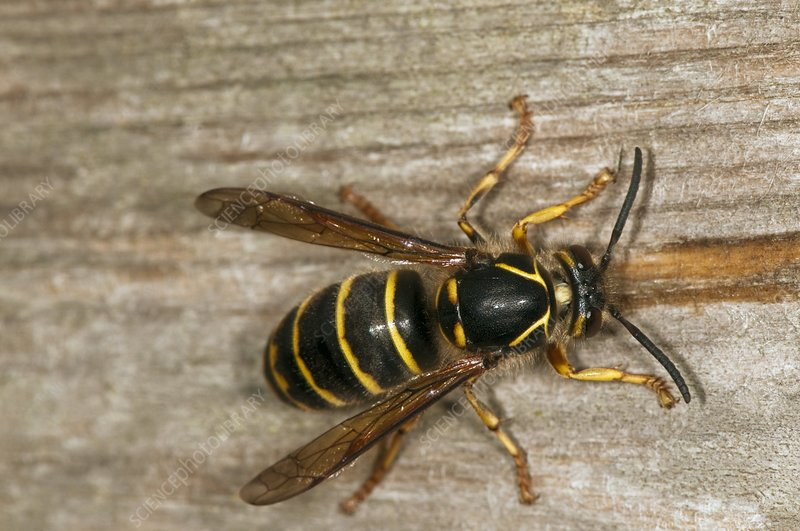 Wasp chewing wood for nest building