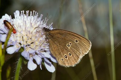 Ringlet butterfly on scabious flower