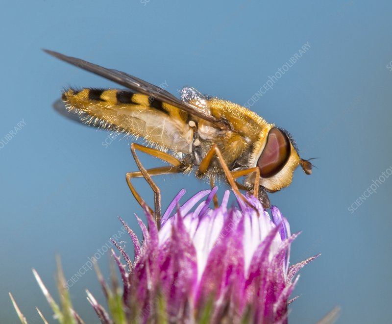 Hover fly feeding on knapweed flower