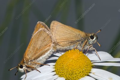 Small skipper butterflies mating