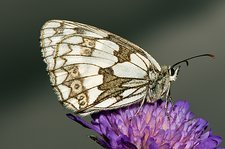 Marbled white butterfly on a flower
