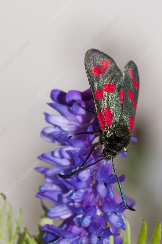 Six-spot burnet moth on vetch flowers