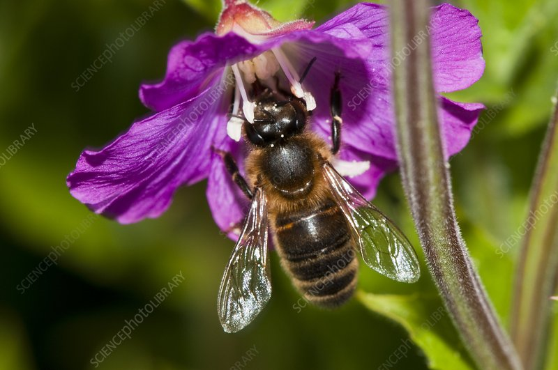 Honeybee on hairy willowherb