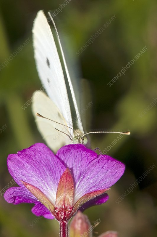 Cabbage white butterfly on willowherb
