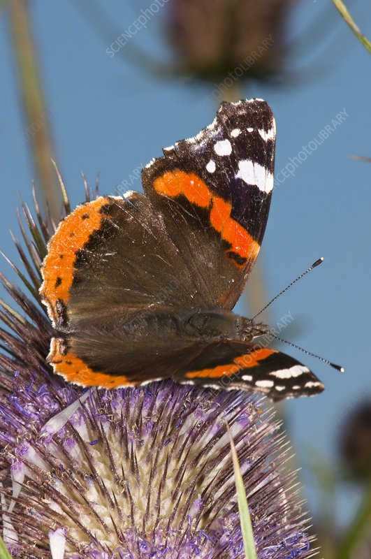 Red admiral butterfly on teasel