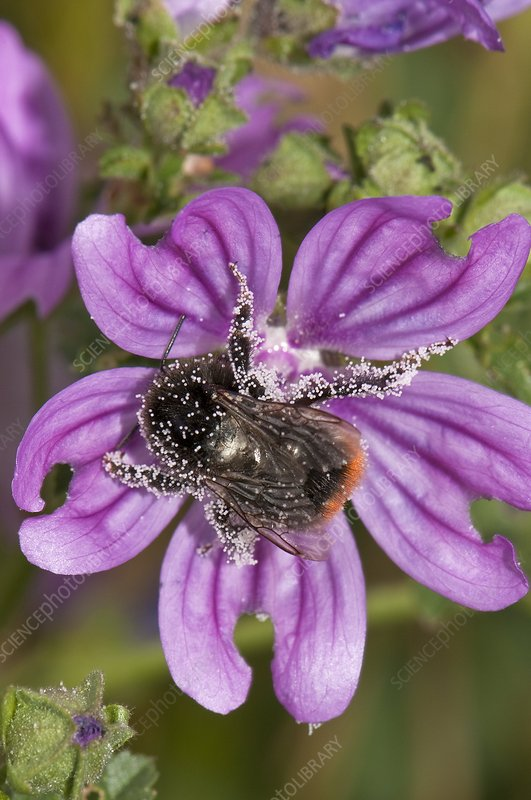 Honeybee pollinating common mallow flower