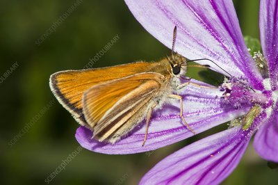 Small skipper butterfly on common mallow