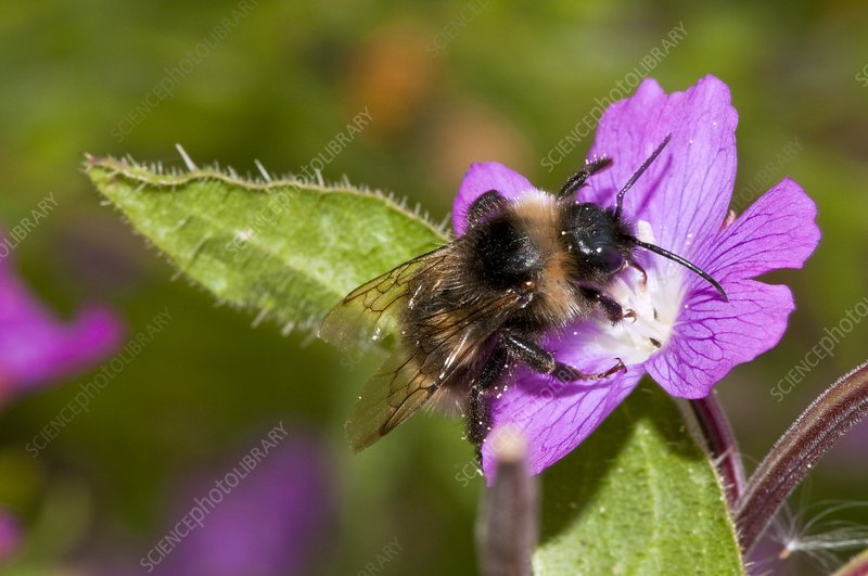Bumblebee on hairy willowherb