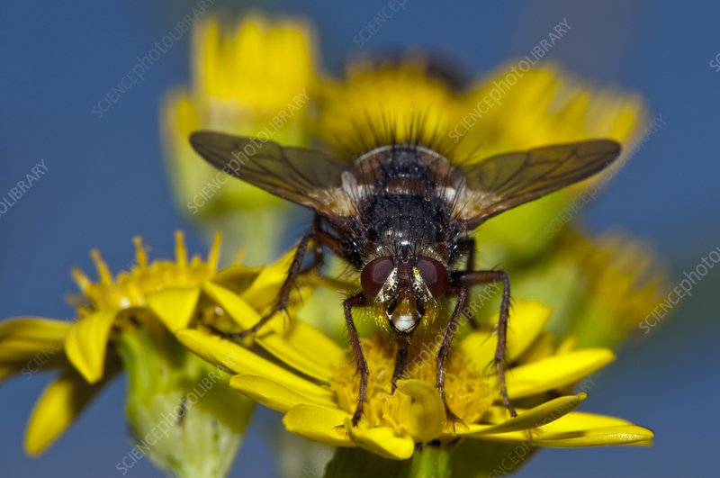 Fly feeding on ragwort flowers