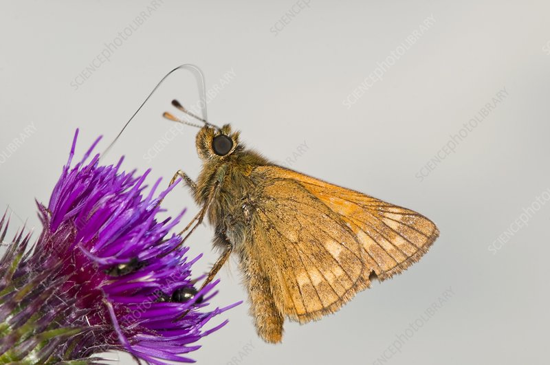Large skipper butterfly on thistle flower