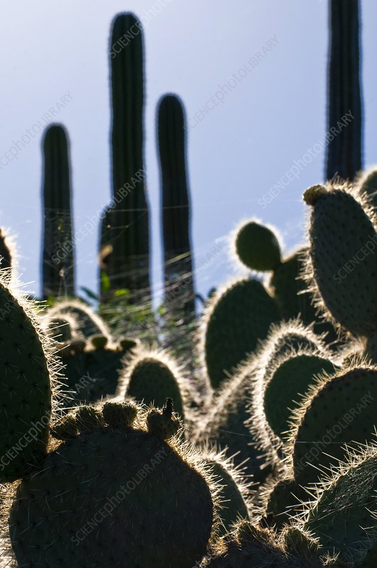 Cactus plants, Canary Islands
