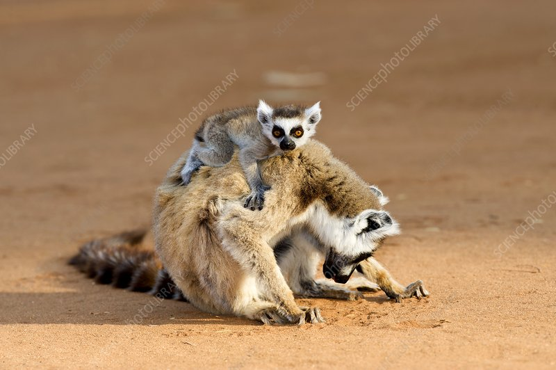 Ring-tailed lemur mother and baby