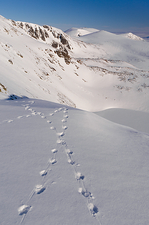 Ptarmigan tracks in snow, Cairngorms
