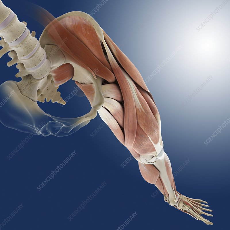 Leg Muscles Artwork Stock Image C0134429 Science Photo Library