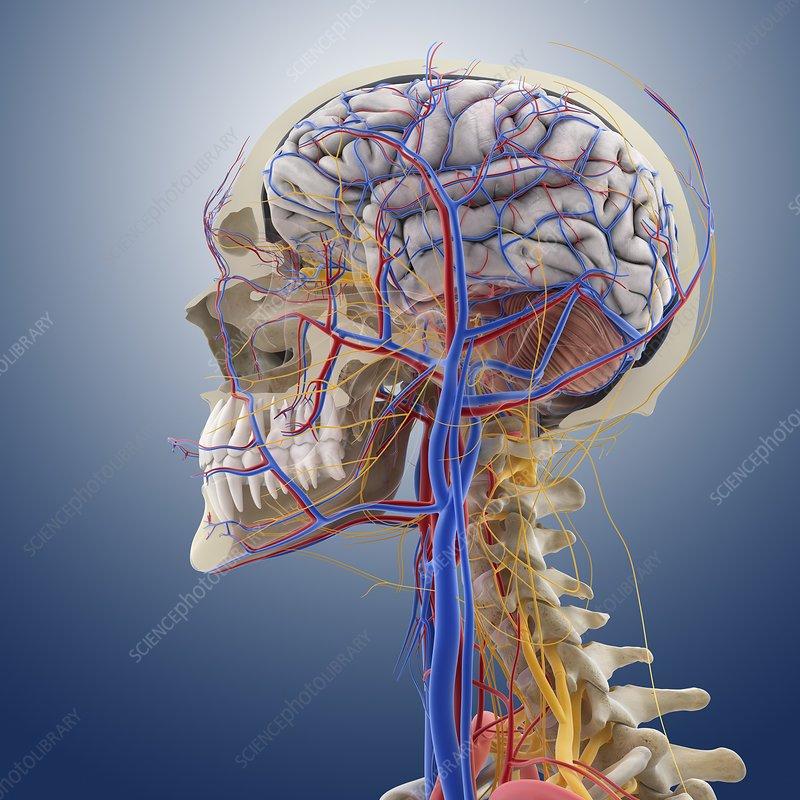 Head And Neck Anatomy Artwork Stock Image C0134449 Science