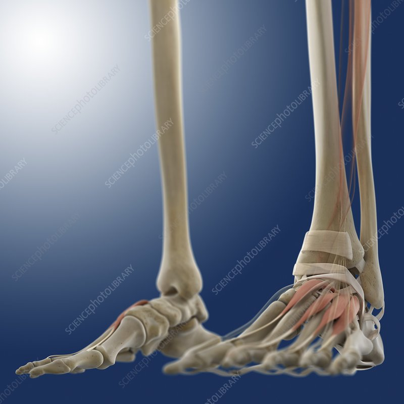 Foot muscles, artwork
