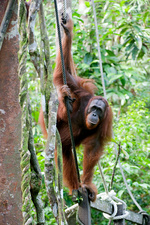 Orangutan, young male