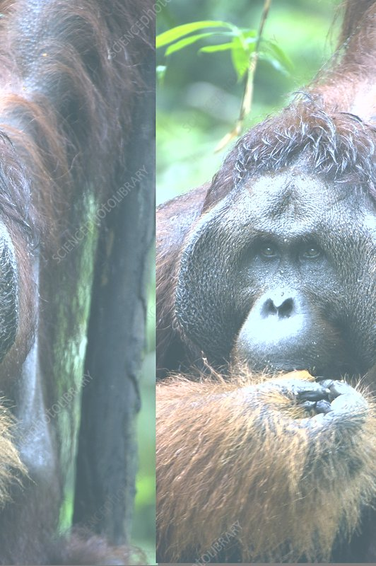 Orangutan, mature male