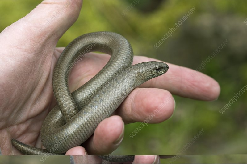 Slow worm translocation
