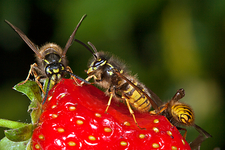 Wasps feeding on a strawberry