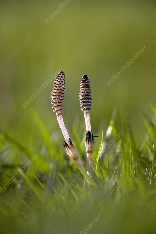 Field horsetail stems and cones