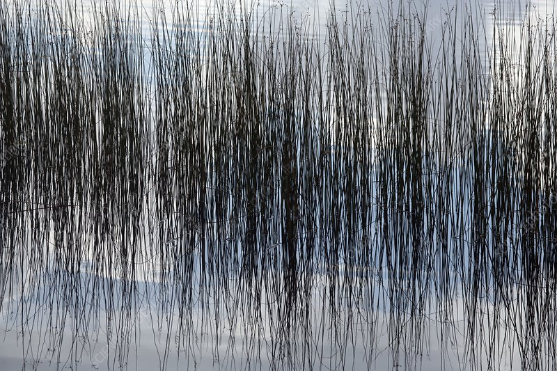 Rushes reflected in water