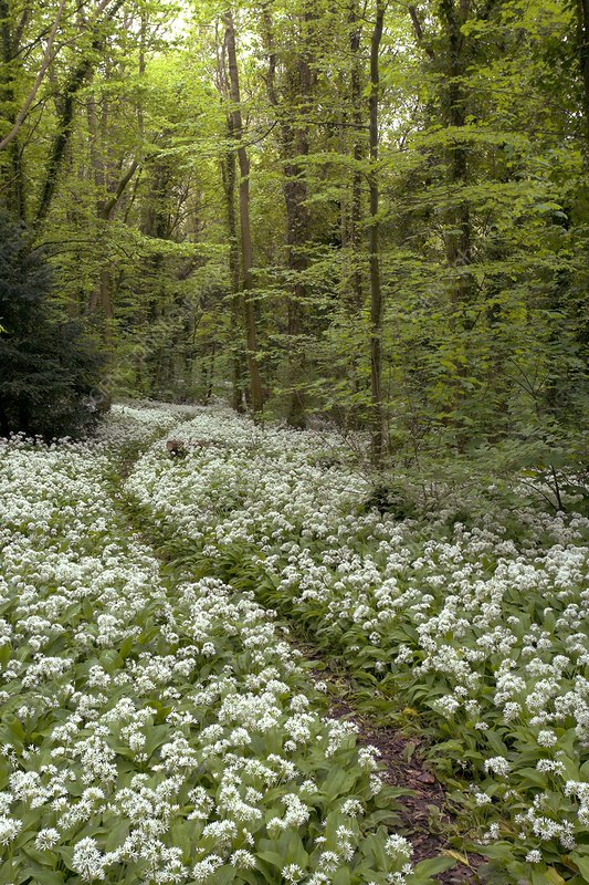 Wild garlic flowers in woodland