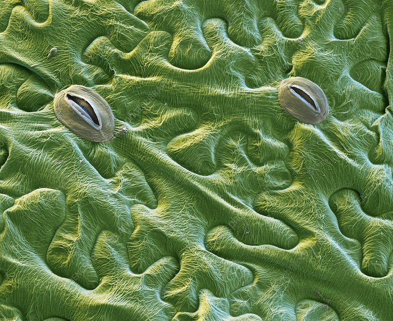 Black nightshade leaf, SEM