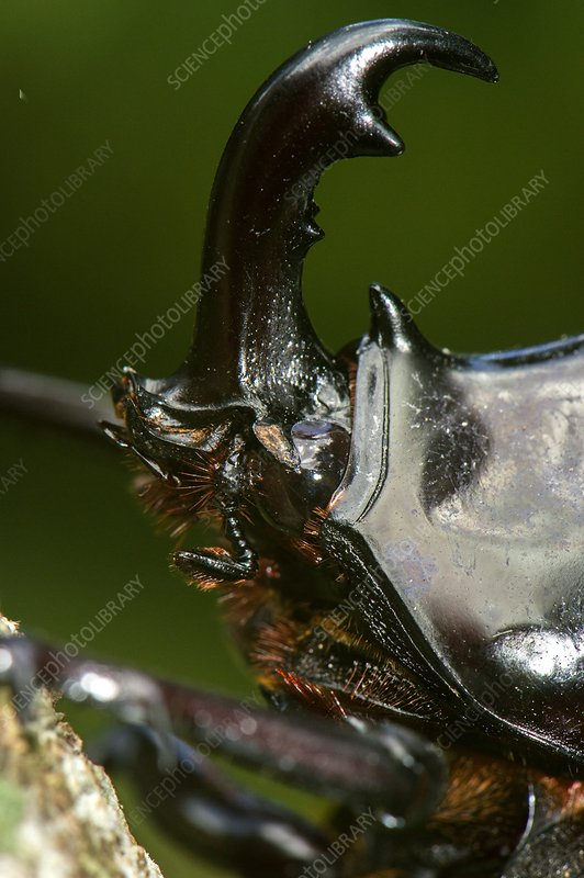 Rhinoceros beetle, close up