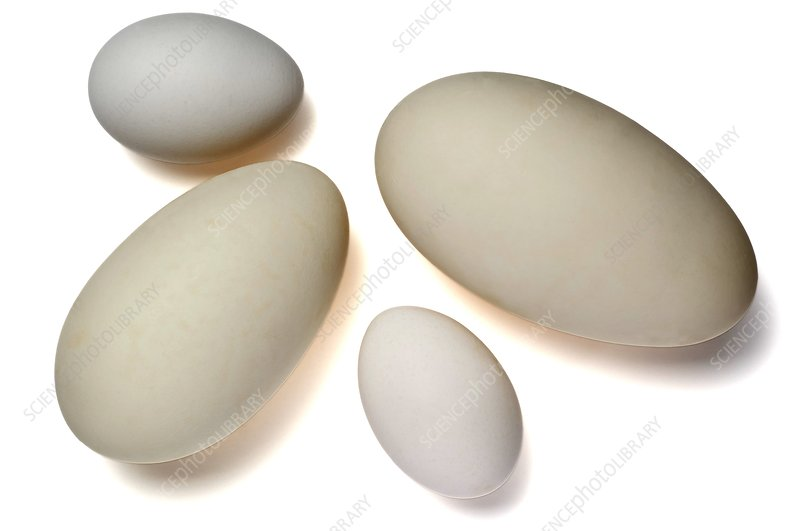 Chicken and goose eggs