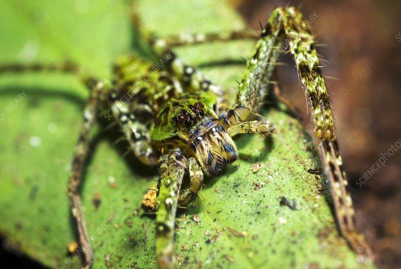 Spider at night, Borneo rainforest