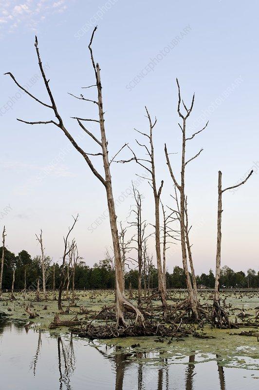 Cleared mangrove swamp, Indonesia