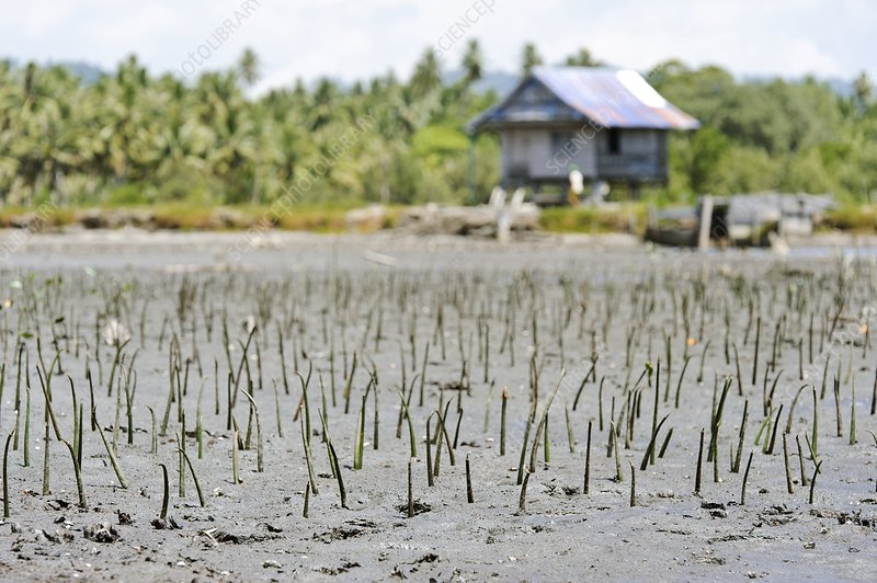 Mangrove rehabilitation, Indonesia