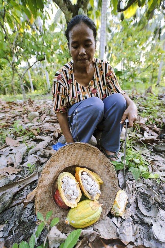 Cocoa plantation, Indonesia