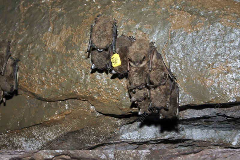 Tagged bat and white nose syndrome